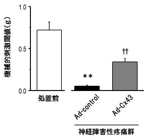 図2. 神経障害性疼痛に対するconnexin43発現量回復による疼痛緩和効果