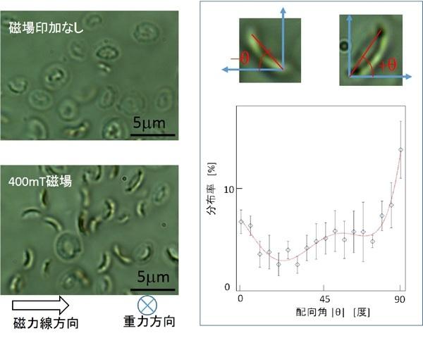 図2 円石藻Emiliania huxleyi から遊離した円石の磁場配向