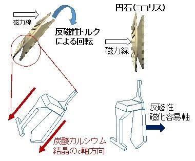 図3 円石の磁場配向のメカニズム