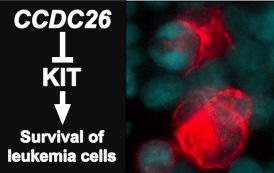 受容体型チロシンキナーゼKITの発現