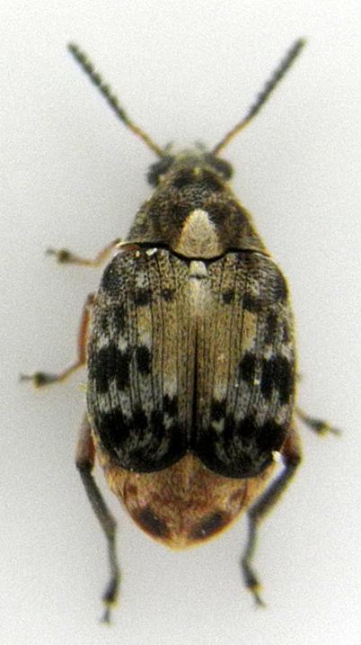 図1:サイカチマメゾウムシ(Bruchidius dorsalis)の成虫(体長約6 mm)