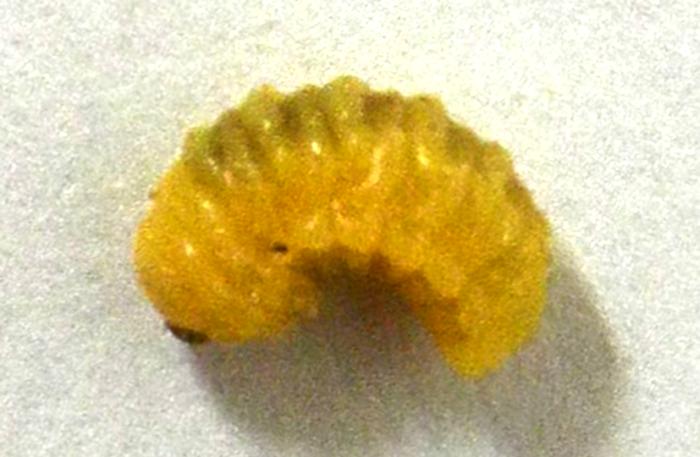 図1:サイカチマメゾウムシ(Bruchidius dorsalis)の幼虫(体長約6 mm)