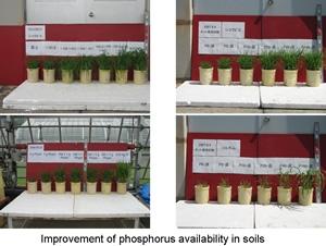 土壌リンの利用性改善