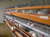 3000羽余りのニワトリを飼育
