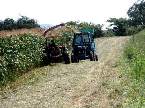 トウモロコシの刈取り