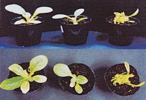 遺伝子組換え植物