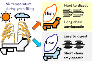 Prediction of sake making properties of rice grains by meteorological data