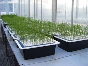 Screening of salinity tolerant cultivars from diverse rice collections
