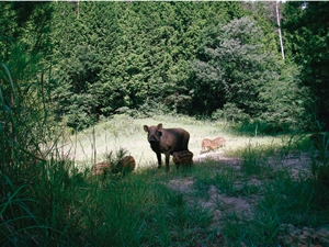 A family of wild boars in mountainous region