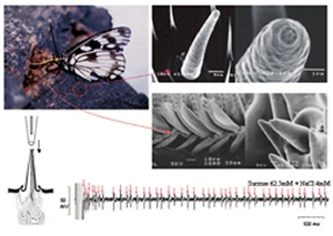 Gustatory sensilla of nymphalid butterfly and these electro-responses to sucrose.
