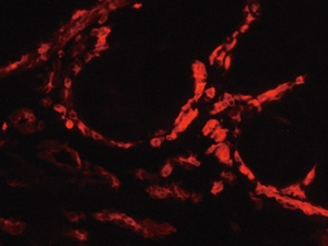 MHC II positive cells in hen oviduct