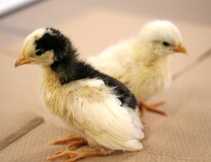 Ovomucoid knockout chimera chicken