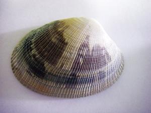 A clam, Ruditapes philippinarum