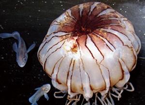 アカクラゲに共生するイボダイ