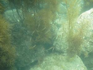ガラモ場(褐藻ホンダワラ類)と魚