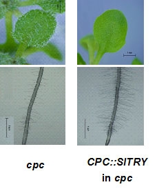 CPC::SlTRY decreased trichome and increased root-hair number in cpc.