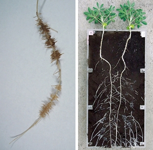 right) Lupine plants which can grow well under low P condition. left) Cluster root formed by lupin plants to enhance P acquisition.
