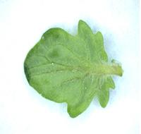 (図2)CPCを導入したトマトの葉
