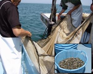 愛媛県松山沖のイカナゴ漁業調査