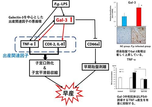 Galectin-3と早産の関係