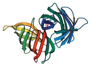 多機能を示す紅藻レクチンの分子構造
